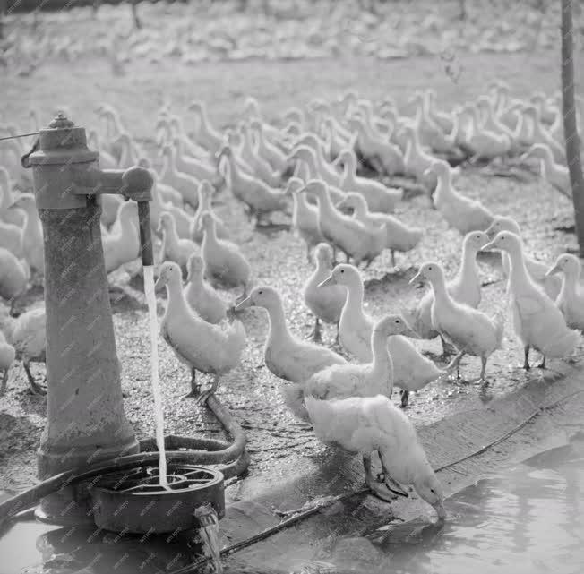 Mezőgazdaság - A Baromfiipari Mezőgazdasági Vállalat győri víziszárnyas-telepe
