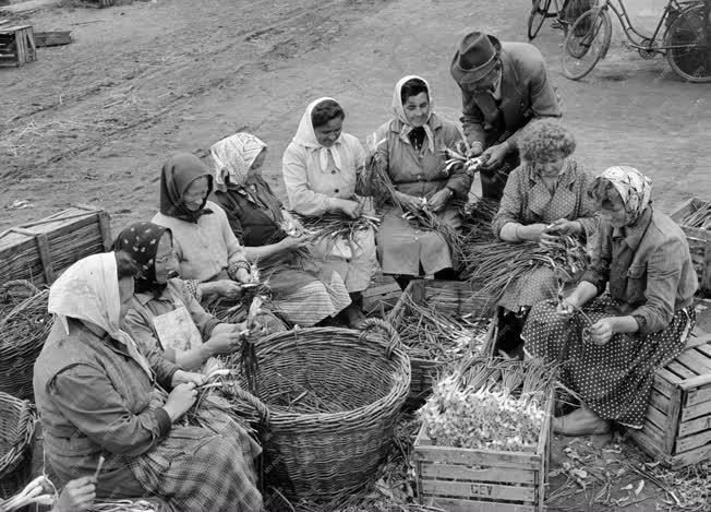 Mezőgazdaság - Az esztergomi Vak Bottyán Tsz