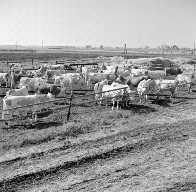 Mezőgazdaság - Tehenek a tsz-ben