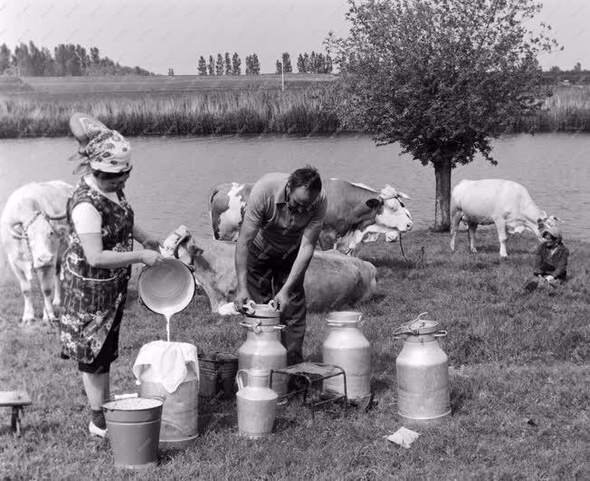 Mezőgazdaság - Tehenek a Körös partján