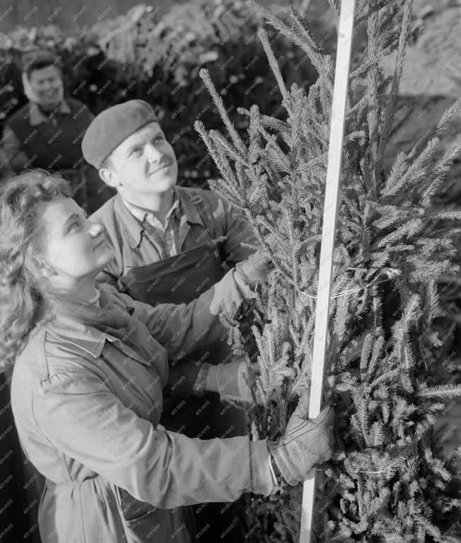 Kereskedelem - Megérkezett az első vagon karácsonyfa Budapestre