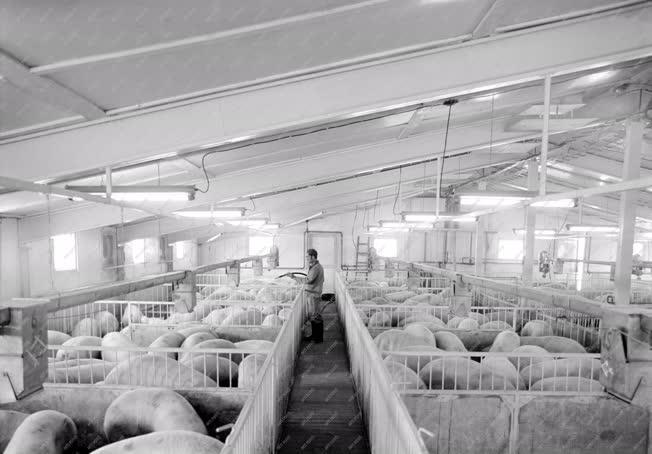Mezőgazdaság - A seregélyesi sertéskombinát