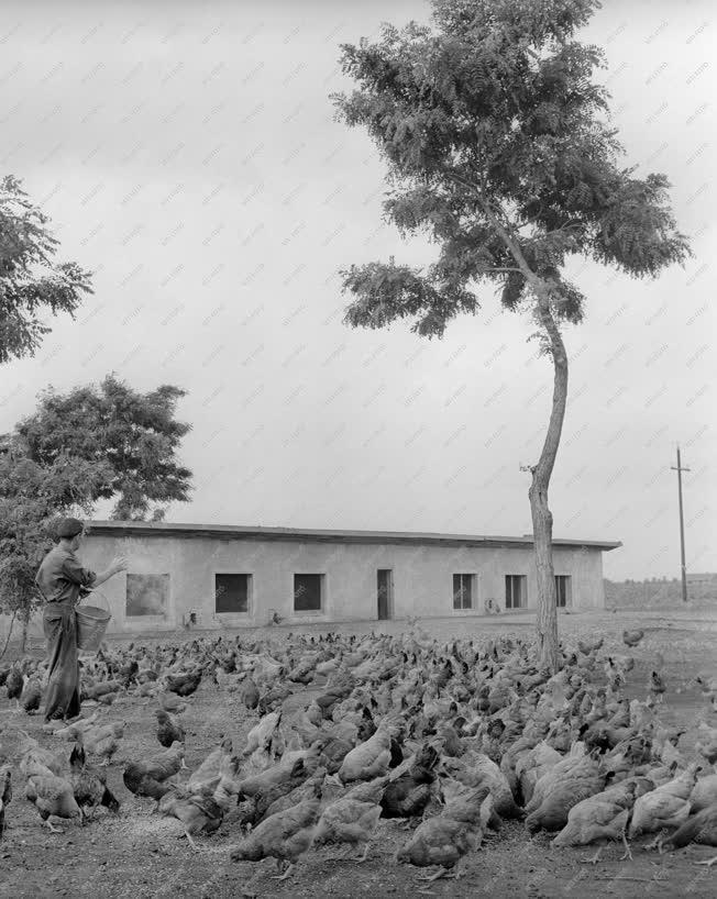 Mezőgazdság - Fegyverneki baromfitelep