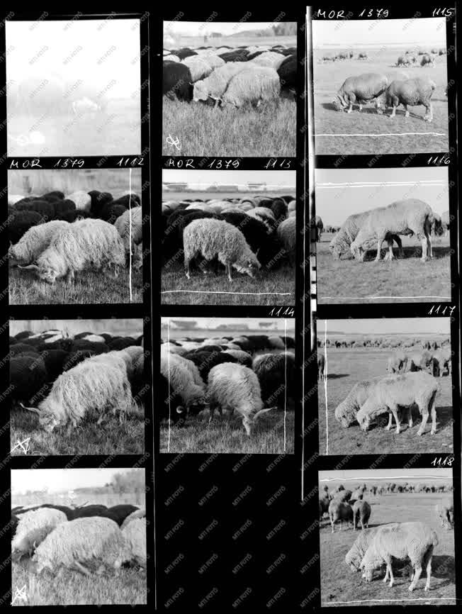 Mezőgazdaság - Természet - Juhok a Hortobágyon