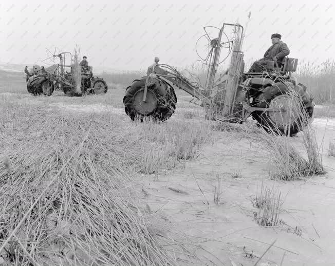 Mezőgazdaság - Nádaratás