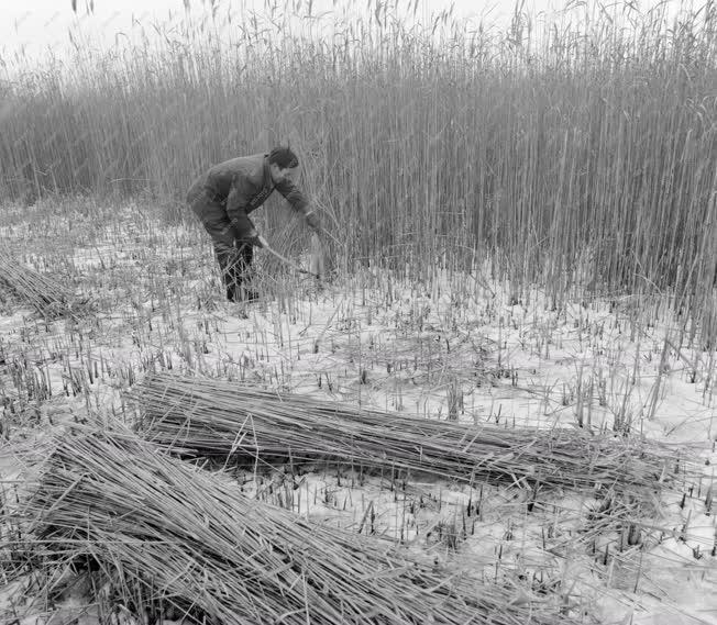 Mezőgazdaság - Nádvágó a tó jegén