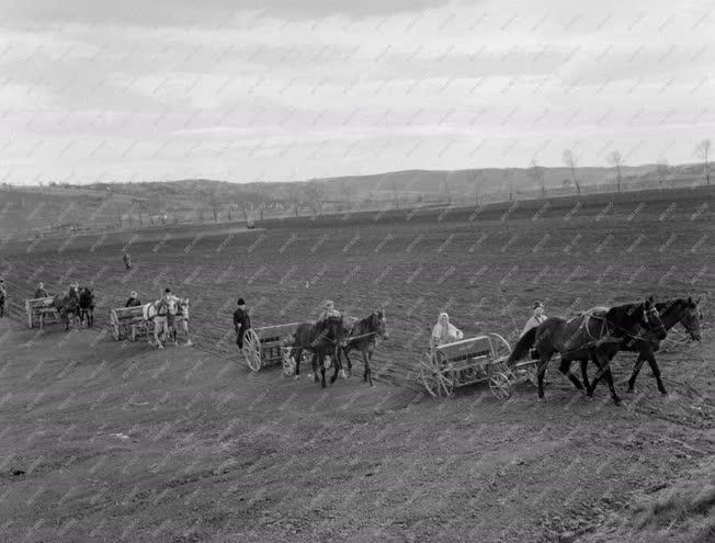 Mezőgazdaság - Mezőgazdasági munka - Cukorrépa