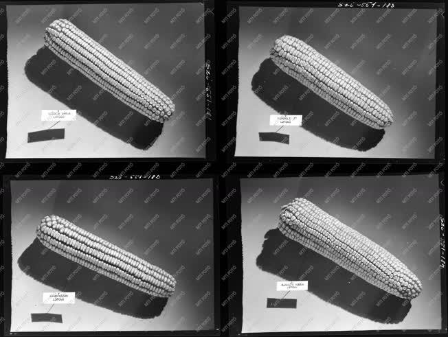 Mezőgazdaság - Kukorica fajták - Agrimpex album