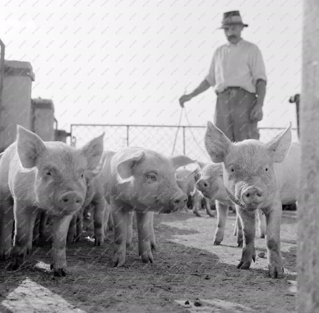 Mezőgazdaság - Állattenyésztés - Malacok