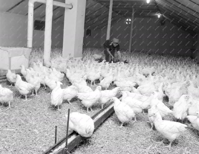 Mezőgazdaság - Csirkenevelde a háztáji gazdaságban