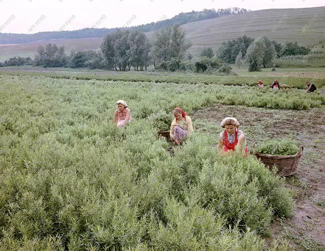 Mezőgazdaság - Vágják a tárkonyt