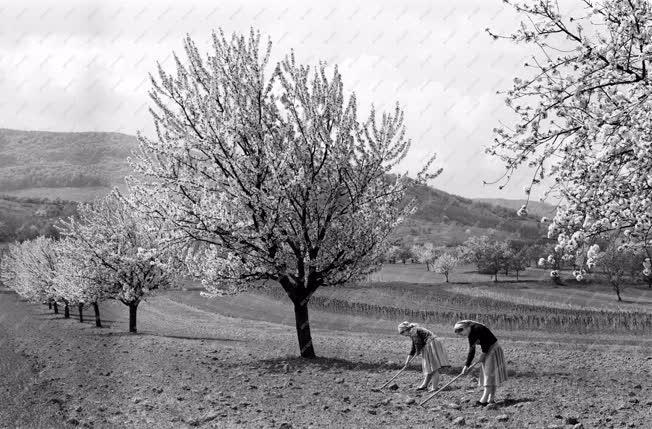 Mezőgazdaság - Földművelő asszonyok a Pilis-hegységben
