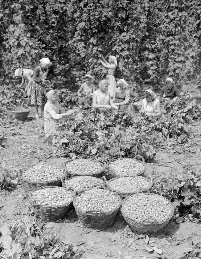 Mezőgazdaság - Komlószüret