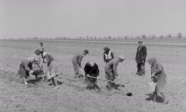 Mezőgazdaság - Vetik a burgonyát az Április 4. Tsz-ben