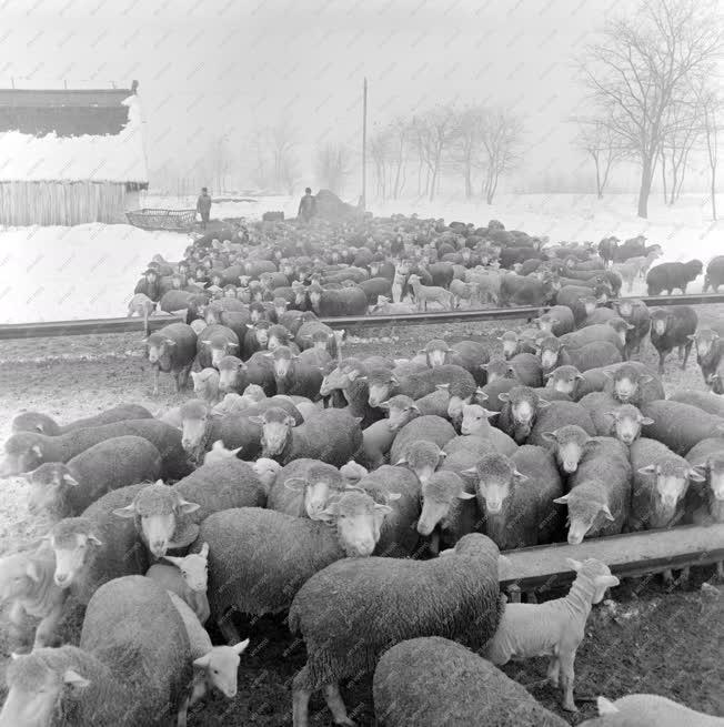 Mezőgazdaság - A bicskei Rákóczi Tsz juhai