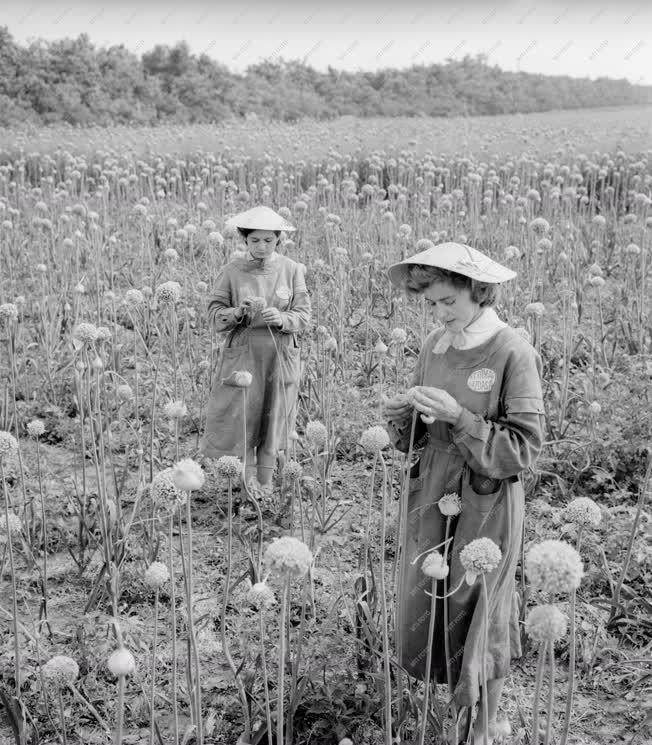 Mezőgazdaság - A Ceglédi Kertimag és Gyógynövénygazdaság