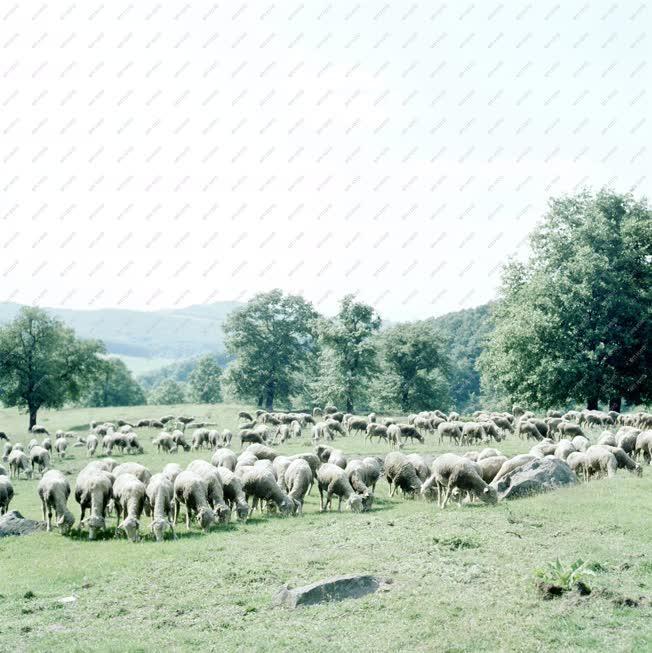 Természet - Legelésző birkanyáj Nógrádban