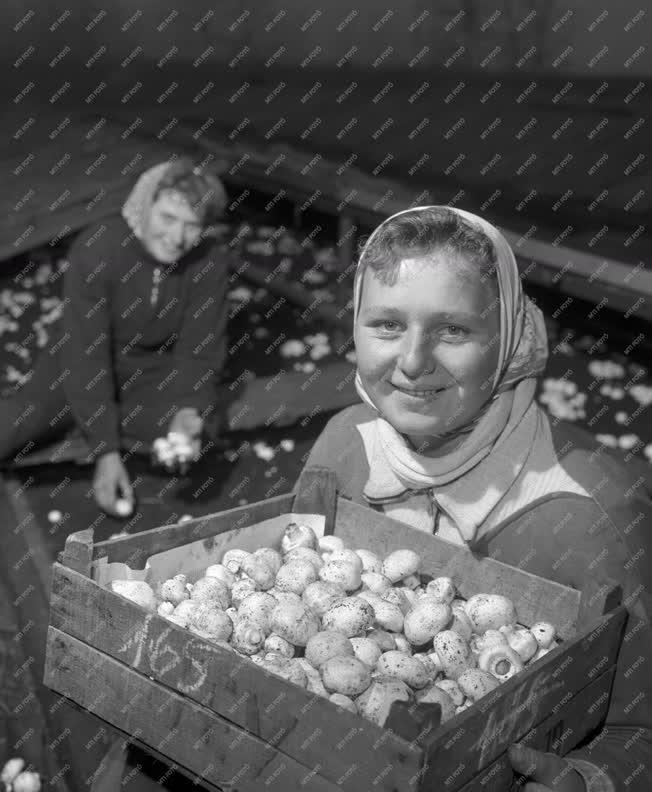 Mezőgazdaság - Szedik a gombát a Soroksári Tangazdaságban