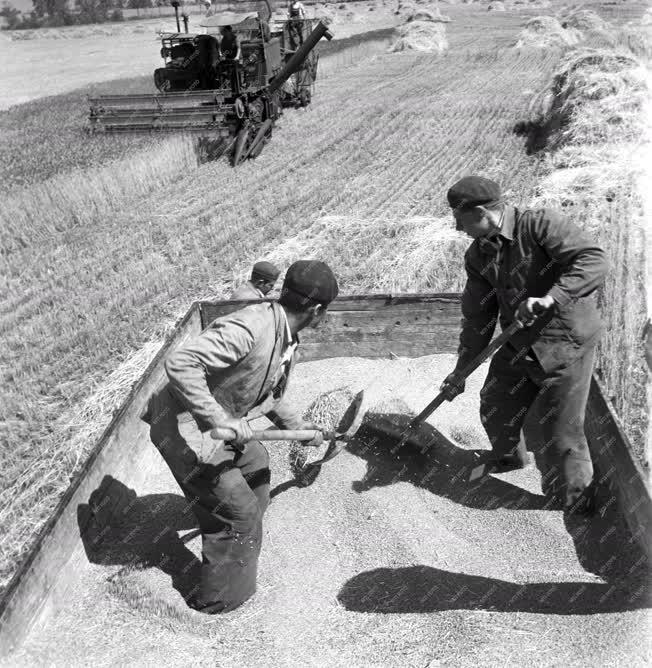 Mezőgazadaság - Aratás a mezőhéki Táncsics tsz-ben