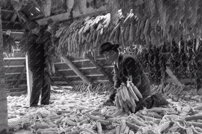 Mezőgazdaság - Kukorica
