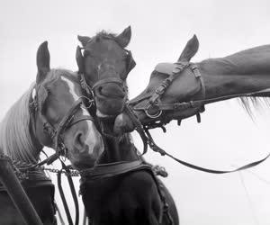 Mezőgazdaság - A fácánkerti Vörös Hajnal termelőszövetkezet lovai