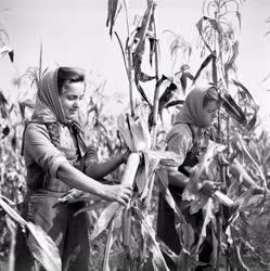 Mezőgazdaság - Kukorica betakarítás