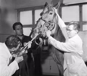 Állategészségügy - Ló ambuláns kezelése