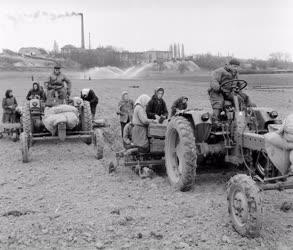 Mezőgazdaság - Fejes káposzta palántálás a Kertészeti Főiskola tangazdaságában