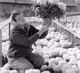 Mezőgazdaság - Krizantém - Őszi virágnapok