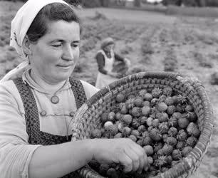 Mezőgazdaság - Szedik a földiepret Kunszálláson