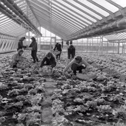 Mezőgazdaság - A szegedi Felszabadulás Tsz