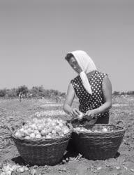 Mezőgazdaság - Kossuth Termelőszövetkezet