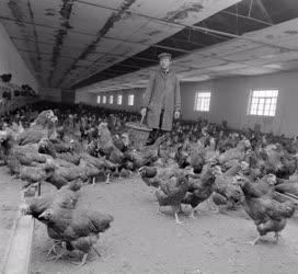 Mezőgazdaság - Az ecsegi Béke Tsz baromfitelepe