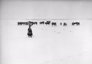 Mezőgazdaság - Állattenyésztés - Bikák a téli legelőn