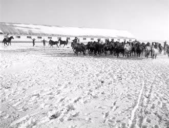 Mezőgazdaság - Csikók téli jártatása