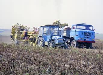 Mezőgazdaság - Krumpliszüret Szécsényben