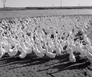 Állattenyésztés - Pekingi kacsák a víziszárnyas telepen