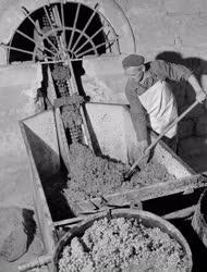 Mezőgazdaság - Szüret az egri Dobó istván Tsz-ben