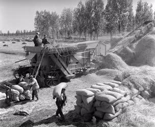 Mezőgazdaság - Rizs aratás a Körösi Állami Gazdaságban