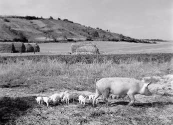 Mezőgazdaság - A litkei Kossuth Tsz sertései