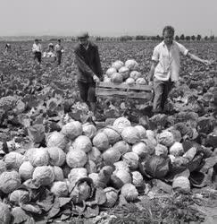 Mezőgazdaság - Balatonújhelyi ÁG