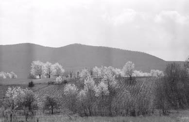 Természet - Virágzó fák a Pilis hegység lábánál