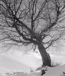 Természet - Tél - Öreg fa Hollókőn
