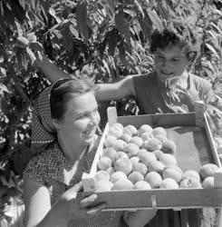 Mezőgazdaság - Szüretelik az őszibarackot Szatymazon