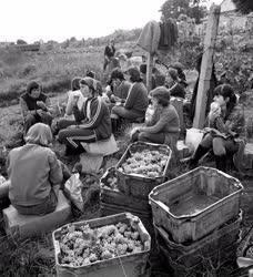 Mezőgazdaság - Szüret