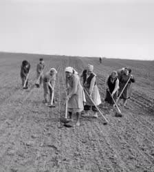 Mezőgazdaság - Munkában a túrkevei Harcos Tsz tagjai