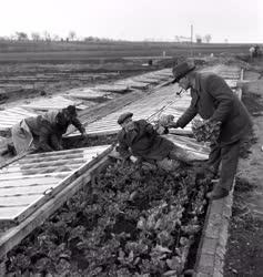 Mezőgazdaság - Kertészet - Az első primőrsaláták