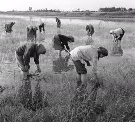 Nagyüzemi rizstermesztés Szarvason