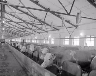 Mezőgazdaság - Korszerűsített dunabogdányi tehenészet