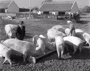 Mezőgazdaság - Állattenyésztés - Kossuth Termelőszövetkezet